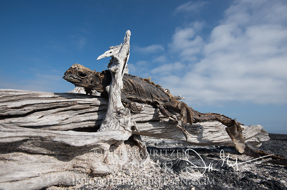 The mummified remains of a marine iguana rest on a bleached tree on Fernandina island in the Galapagos archipelago of Ecuador during an El nino year.