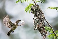 Female Marico Sunbird building her nest, Somkhanda Private Game Reserve, KwaZulu Natal, South Africa.