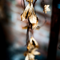 Dying made beautiful, these leaves slowly die in a disused warehouse in Wales, UK.