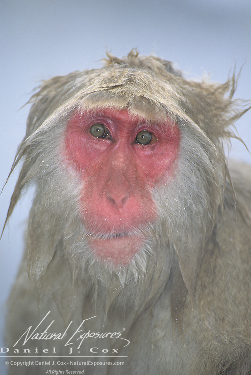 Snow Monkey or Japanese Red-faced Macaque (Macaca fuscata) portrait. Japan