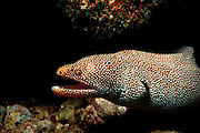 UNDERWATER MARINE LIFE HAWAII FISH: Moray eel Gymnothorax species