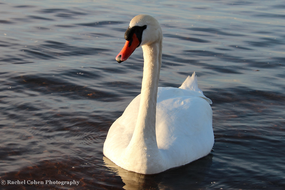 """One Swan a Swimming"""
