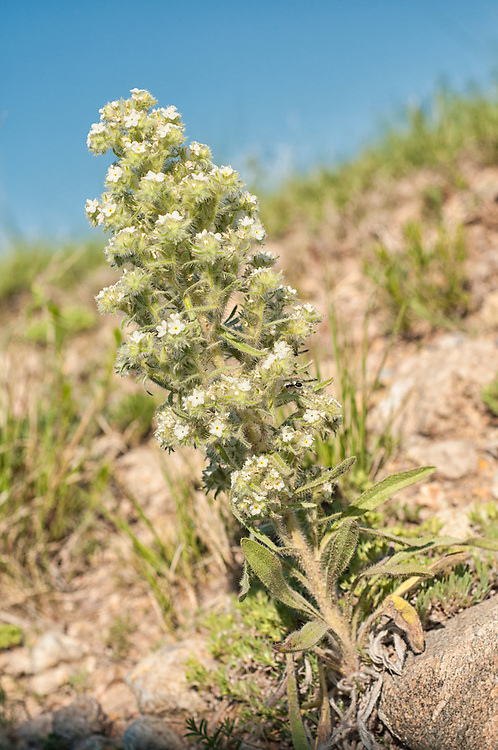 One of the numerous species of catseyes found in the United States, the thicksepal catseye is a hardy and prickly native wildflower found in the arid regions of the American Southwest and is a great source of nectar for many of the insects . This one photographed in the Pawnee National Grasslands of Northeastern Colorado.