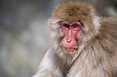 Snow Monkey Park - Jigokudani