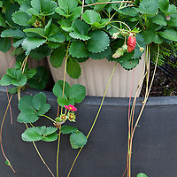 Strawberries in container