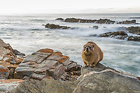 Rock Hyrax sunning on the coastal rocks ; Tsitsikamma Marine Protected Area; Garden Route National Park; South Africa