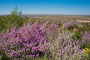 Cenizo blooms after rains spring to fall.  The desert areas around Del Rio can be colored purple after rains thanks to cenizo.