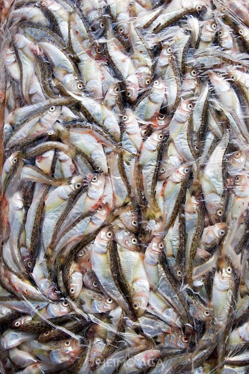 Jagalchi Fish Market. Sardines.