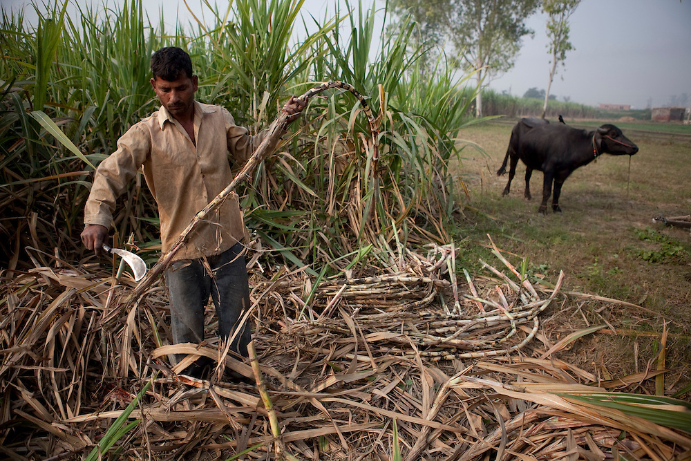 Farmers cut sugar cane at the outskirts of Modi Nagar, in Uttarpradesh, India, on Friday, November 12, 2010. Photographer: Prashanth Vishwanathan/Bloomberg News