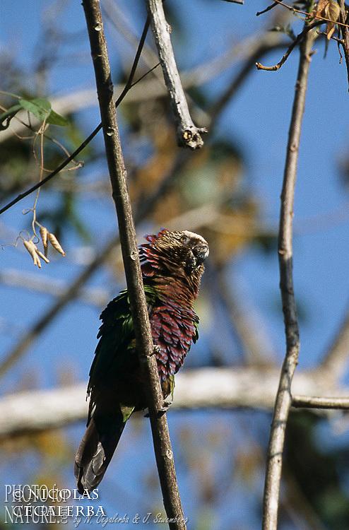 e perroquet Papegeai maillé, Deroptyus accipitrinus