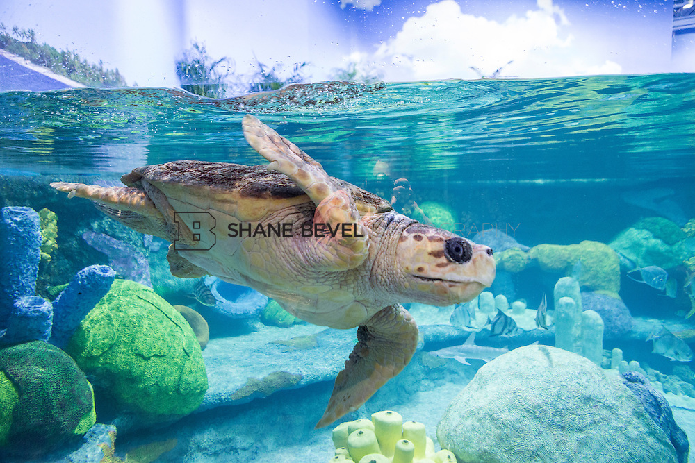 3/2/17 11:00:17 AM -- The ribbon cutting and grand opening of the new sea turtle exhibit at the Oklahoma Aquarium in Jenk, Okla. <br /> <br /> Photo by Shane Bevel
