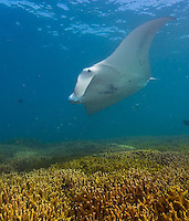 Yap, Micronesia. Shark, Manta Rays and diving at Manta Fest 2013.