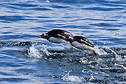 Gentoo penguins (Pygoscelis papua). swimming in the ocean. Gentoo penguins grow to lengths of 70 centimetres and live in large colonies on Antarctic islands. They feed on plankton, fish and cephalopods (such as squid), and have an elongated beak that allows them to take larger prey than any other penguin. Photographed on Cuverville Island, Antarctica