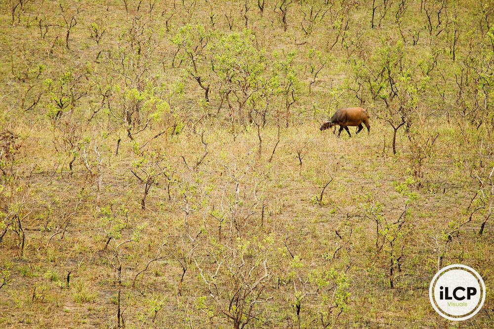 Forest Buffalo (Syncerus caffer nanus) bull in savanna, Lope National Park, Gabon