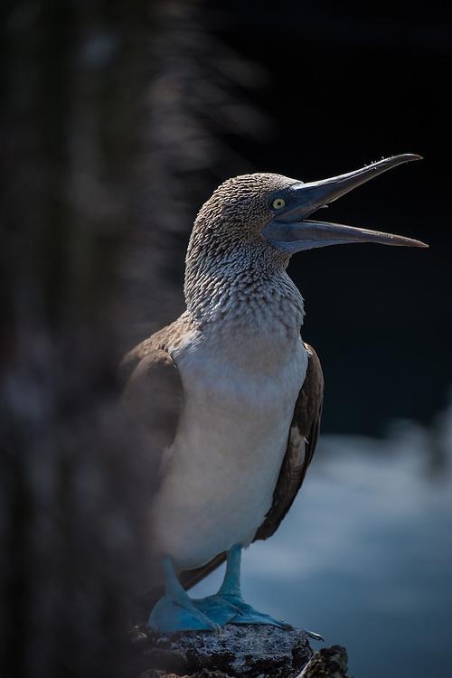 Blue footed booby, Isla Isabela, Galapagos, Ecuador.