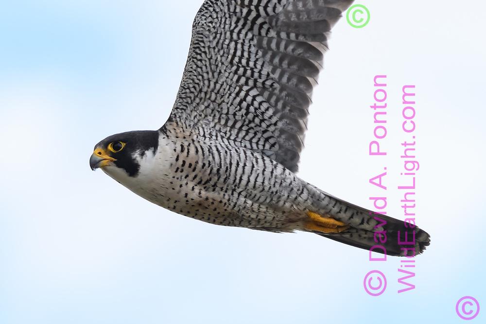 Peregrine falcon flying hard to gain altitude over prey, © 2019 David A. Ponton