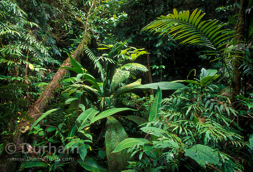 Tropical Rainforest on the Slope of Volcano Orosi in Costa Rica, Central America.
