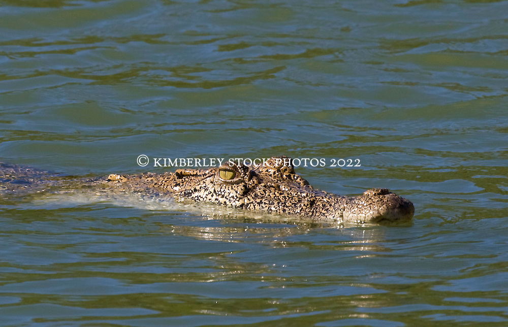 A saltwater crocodile (Crocodylus porosus) just visible in the Sale River, in Doubtful Bay on the Kimberley coast.