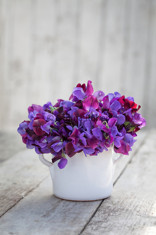 Lathyrus odoratus 'Cupani' - sweet pea arrangement in small white jug
