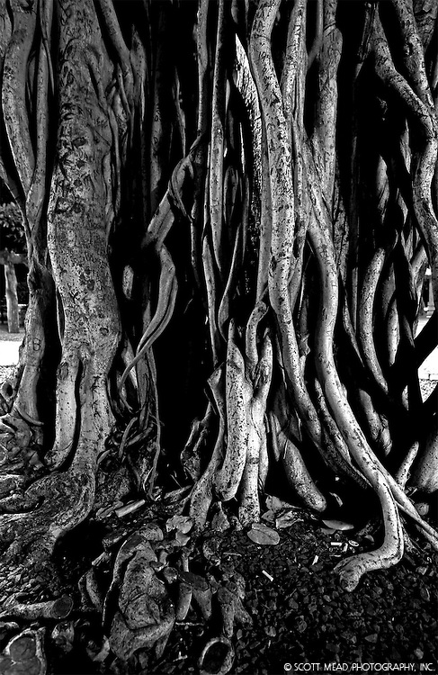 Banyan Tree, Banyan Tree Parm, Lahaina, Maui, Hawaii Oldest Banyan Tree in U.S.
