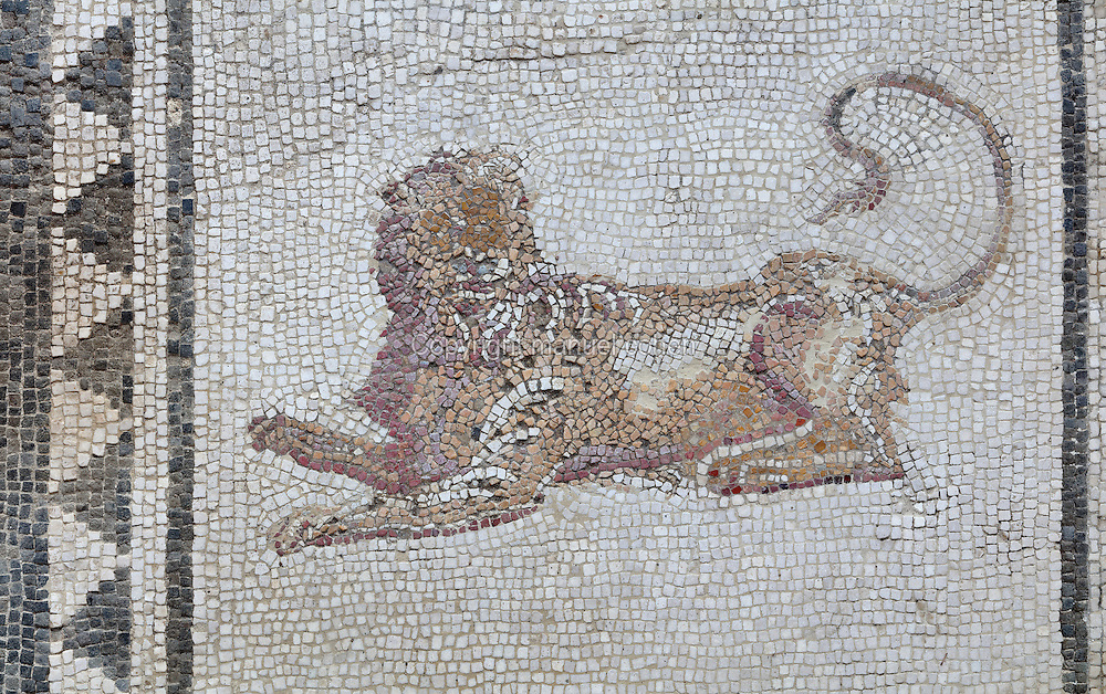Lion, 1st century AD, detail of the mosaic floor of the atrium of the Casa di Paquio Proculo, or House of Paquius Proculus, Pompeii, Italy. Pompeii is a Roman town which was destroyed and buried under 4-6 m of volcanic ash in the eruption of Mount Vesuvius in 79 AD. Buildings and artefacts were preserved in the ash and have been excavated and restored. Pompeii is listed as a UNESCO World Heritage Site. Picture by Manuel Cohen
