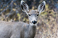 Mule deer doe (Odocoileus hemionus) at the Black Canyon of the Gunnison  National Park.  Colorado