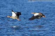 Egyptian Goose Alopochen aegyptiacus L 65-72cm. Striking Shelduck-sized bird. In flight, bold white patch on inner wing useful for identification. Bill and legs are pink. Sexes are similar. Adult has grubby white head and neck; pale eye is surrounded by dark patch. Orange-buff breast is clearly separated from paler neck and darker, grey-buff belly; note small, dark patch on centre of breast. Back is dark grey-brown; note white and chestnut on wing, seen in resting birds. Juvenile is similar but colours are duller; dark breast spot and patch around eye are absent. Voice Mostly silent. Status Introduced from Africa but now well established and increasing. Usually seen near water, often on nearby grassland.