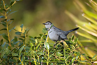 A catbird! These are so frustratingly difficult to photograph, that I gave up years ago trying to get one. This one popped up right in front of me as I was walking through a stand of palmettos.