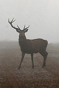 © Licensed to London News Pictures. 10/12/2013. Richmond, UK. A stag deer with only one Antler.  Sunrise and deer in Richmond Park, Surrey, this morning 10 December. Photo credit : Stephen Simpson/LNP