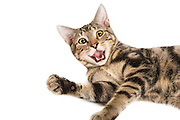 A tabby cat lifts his paw and smiles for the camera.