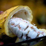 Ouverture d'une cabosse et extraction des fe?ves de cacao///Opening of one dents and extraction of cocoa seeds.