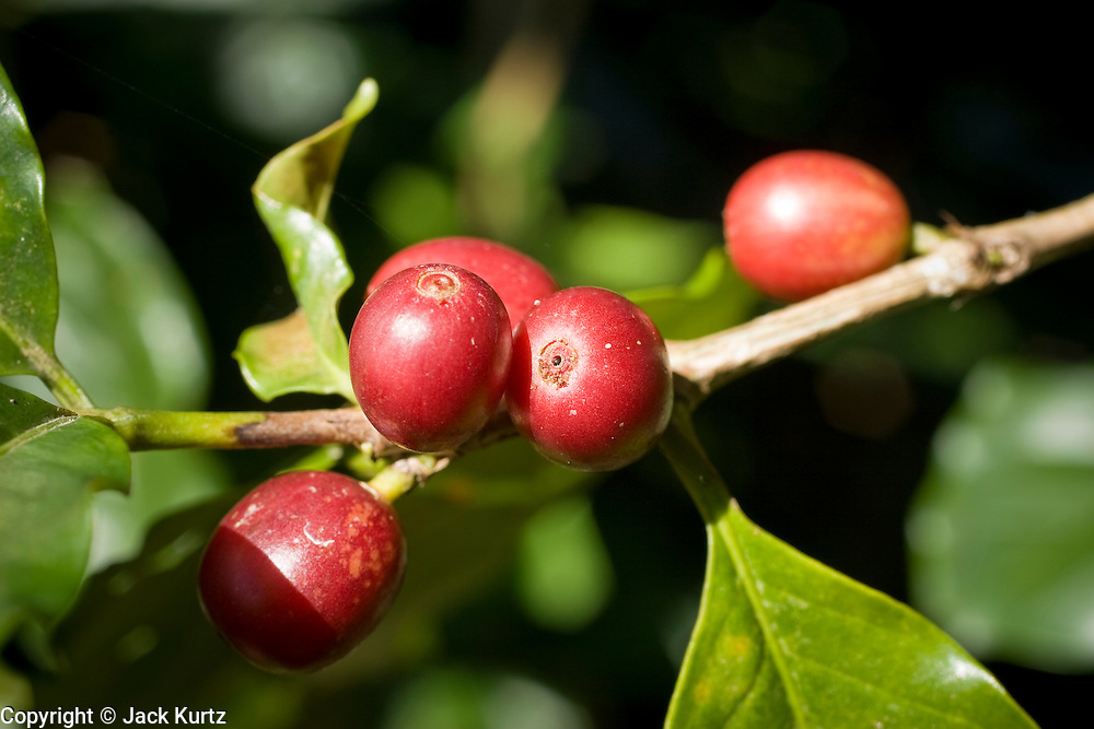 10 NOVEMBER 2004 -- TAPACHULA, CHIAPAS, MEX: Coffee cherries on a tree near Tapachula. The mountains of Chiapas, Mexico, make up some of the finest coffee producing land in Mexico. World coffee prices have been depressed by over production in Brazil and Vietnam and thousands of coffee farmers in Mexico and Guatemala have been forced to emigrate to the US as undocumented workers because of the crisis in the coffee industry. PHOTO BY JACK KURTZ