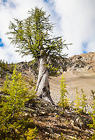 A wisted larch tree near a large scree slope in the North Cascade mountains, Washington, USA.