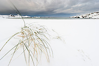 Marehalm stikker opp av snøen på strand. Vigdelstranda ved Ølberg i Sola kommune på Jæren, Rogaland.