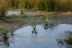 Grote waterweegbree, Alisma plantago-aquatica