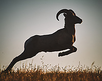 Bighorn Ram at Sunrise. Image taken with a Nikon D700 camera and 80-400 mm VR lens (ISO 200, 400 mm, f/11, 1/640 sec).