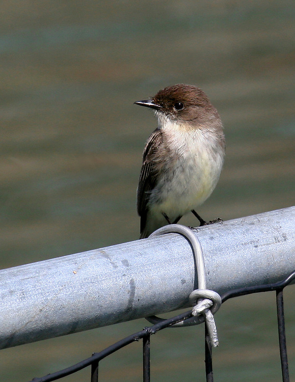 A tiny phoebe at the Upper Pool.