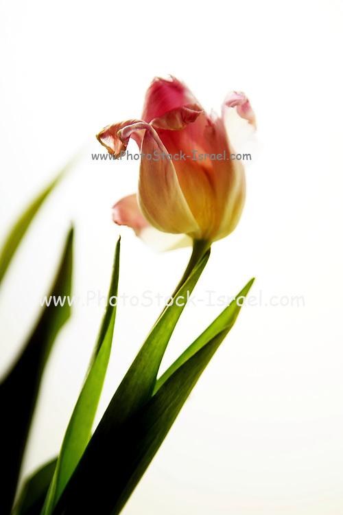 Single perfect tulip in a transparent vase