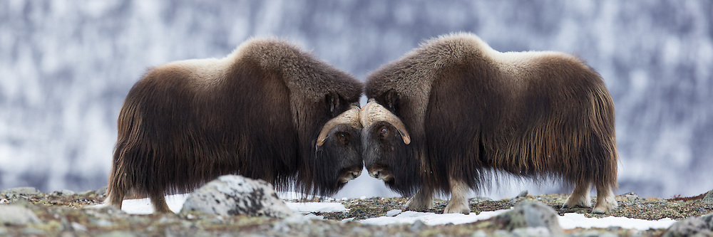 Two Muskox fighting and banging heads at Dovrefjell, Norway. This picture is a stiched high resolution panorama consisting of 3 frames shot in a quick series | To Moskusokser som sloss og skaller sammen hodene, på Dovrefjell, Norge. Dette bildet er et sammensett høyoppløslig panorama, bestående av tre bilder tatt i rask rekkefølge.