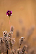 Israeli wildflowers series.  Blooming Allium phanerantherum Photographed in the Galilee, Israel in June