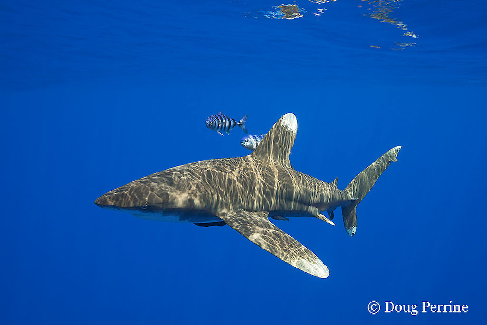 oceanic whitetip shark, Carcharhinus longimanus, with two small sharksucker or remoras, and accompanied by a pair of pilot fish, Naucrates ductor, off the Kona Coast of Hawaii Island ( the Big Island ), Hawaiian Islands, U.S.A. ( Central Pacific Ocean )