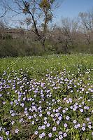 Prairie Verbena (Verbena bipinnatifida),  Uvalde County, Texas