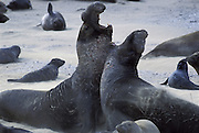 Northern Elephant Seal <br /> Mirounga angustirostris<br /> Bulls fighting<br /> Ano Nuevo State Reserve, CA, USA