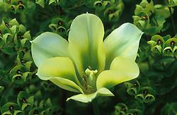 Tulipa 'Spring Green' with Euphorbia x martinii