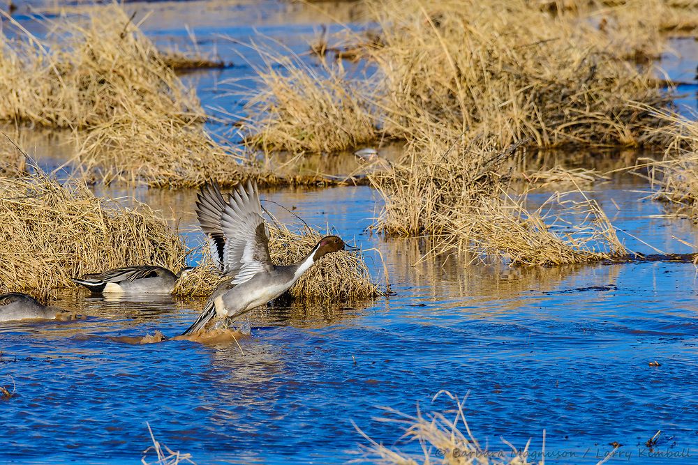 Northern Pintail [Anas acuta] feeding on refuge lake, taking flight; Bosque del Apache NWR., NM