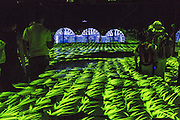 The evocative atmosphere of a rice field in spring is recreated in one of the rooms of Japan pavilion in Expo 2015, Rho-Pero, Milan, July 2015. &copy; Carlo Cerchioli<br /> <br /> La suggestiva atmosfera della risaia in primavera &egrave; ricreata in una delle sale del padiglione del Giappone, a Expo 2015, Rho-Pero, Milano, luglio 2015.