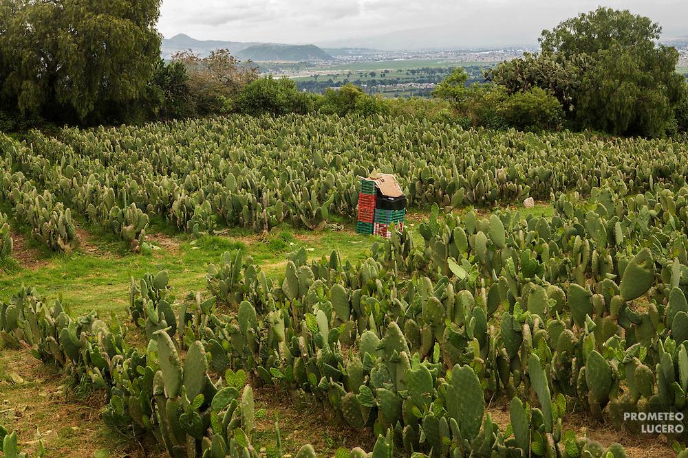 Milpa Alta es el primer productor nacional de nopal del país. La cosecha de nopal se convirtió en la mejor actividad productiva luego de que fuera prohibido talar los cerros boscosos. 13 de junio de 2015. (Foto: Prometeo Lucero)