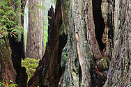 Dark burns cut a graphic pattern through the base of giant redwood trees, Del Norte Redwoods State Park