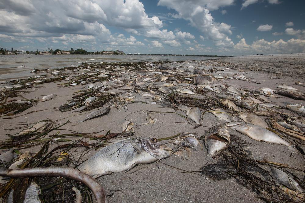 Red tide causing a fish kill in South Lido Beach Florida fish kill, fishkill, Florida, red tide, blue green algae, water crisis, environmental crisis, south west Florida, gulf coast, algae, toxic algae,