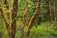Temperate rain forest in spring with mix of Alder, Western Hemlock and Big Leaf Maple. Mount Baker Snoqualmie National Forest, North Cascades Washington